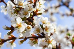 Branch of a flowering tree close-up. 