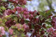 Dark pink crabapple blooming in the spring. Branch of flowering tree growing wild along a park path in the spring. Close up of flowers and buds on a branch royalty free stock photography