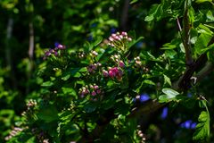 Branch of flowering tree with small blooming pink roses and green leaves