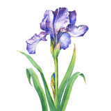 The branch flowering violet Iris. Watercolor hand drawn painting illustration, isolated on white background Stock Images