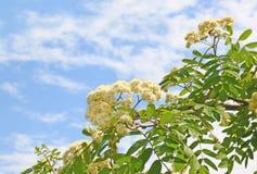Branch of flowering wild ash Royalty Free Stock Photos