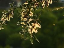 Branch of flowering willow tree stock photography