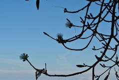 Branch with flowers against the sky. A branch with flowers against the clear blue sky on Jamaica in the Caribbean stock photo
