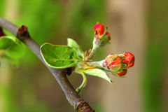 Branch with flowers of apple. Stock Images