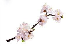 Branch with flowers of an apricot Royalty Free Stock Photography