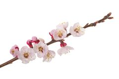 Branch in flowers Royalty Free Stock Images