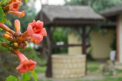 Trumpet creeper. A branch of flowers of Chinese trumpet creeper in front of a draw well stock photo