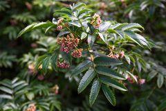 Branch with flowers and leaves of sorbus sambucifolia is close. Up Royalty Free Stock Image