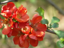 Branch with flowers quince. Charming single branch with flowers quince Stock Photo