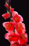 Branch with flowers of red gladiolus, covered with dew Stock Photos