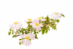 branch with flowers of rose hips isolated Stock Photo