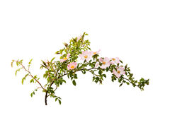 branch with flowers of rose hips isolated Stock Photography
