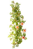 branch with flowers of rose hips isolated Stock Photos