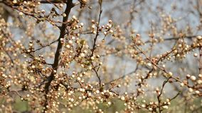 Branch with flowers unblown. Shallow depth of field stock video