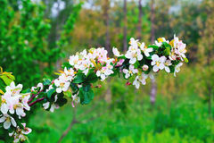 Branch with flowers and wild apples in the spring . Royalty Free Stock Photos