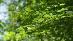 Beautiful tree leaves. Branch of a forest tree swaying in the wind against a blue sky background stock video footage