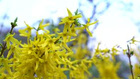 A branch of forsythia with small yellow flowers flutters in light spring wind against the blue sky. A branch of forsythia with small yellow flowers and green stock footage