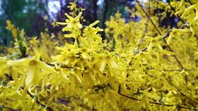 A branch of forsythia with small yellow flowers flutters in light spring wind against the blue sky. stock video
