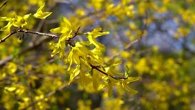 A branch of Forsythia with small yellow flowers flutters in light spring wind on a bright Sunny day. stock video footage
