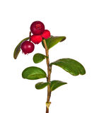 Branch with four cowberries Stock Images