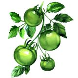 Branch of four green tomatoes with leaves, fresh organic vegetables, isolated, hand drawn watercolor illustration on vector illustration