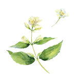 Branch of fragrant jasmine. Watercolor. Royalty Free Stock Images