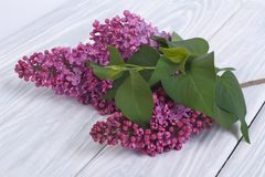 A branch of fragrant lilacs Stock Photos