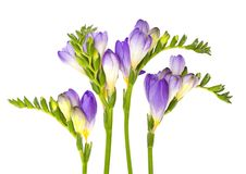The branch of freesia with flowers, buds Royalty Free Stock Photography