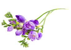 The branch of freesia with flowers, buds Stock Images