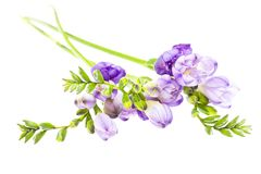 The branch of freesia with flowers, buds Royalty Free Stock Images