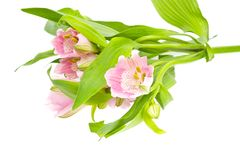The branch of freesia with flowers, buds Royalty Free Stock Image