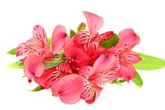 The branch of freesia with flowers, leaves Royalty Free Stock Photography