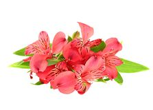 The branch of freesia with flowers, leaves Stock Photo