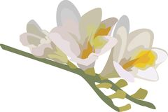 Branch freesia. Branch of freesia vector illustration, delicate beautiful freesia flower, inflorescence white, blue. pink tone Stock Photography