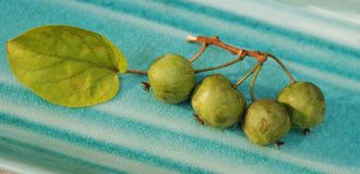 Branch of fresh baby kiwi berries Royalty Free Stock Photo