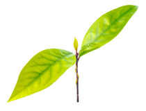 Branch fresh bay laurel leaves on the white Royalty Free Stock Photography