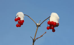 Branch with fresh berries of viburnum with snow Royalty Free Stock Photography
