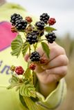 A branch of fresh blackberries Royalty Free Stock Image