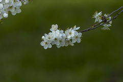 Branch with fresh bloom of wild plum-tree flower closeup in garden. Sofia, Bulgaria royalty free stock image