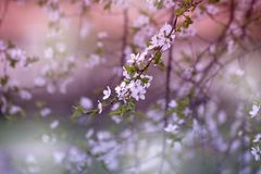 Branch with fresh bloom of wild plum-tree flower closeup in garden. Spring blossoming spring flowers on a plum tree against soft floral background stock images