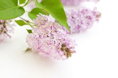 Fresh blooming lilac Royalty Free Stock Photos