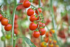 Branch of fresh cherry tomatoes hanging on trees in organic farm Stock Photography