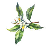 Branch of the fresh citrus fruit lemon with green leaves and flowers. vector illustration