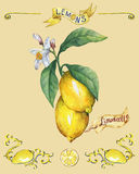 Branch of the fresh citrus fruit lemon with green leaves and flowers. Poster. Stock Images