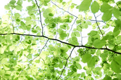 Branch of fresh green beech leaves Stock Image