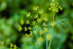 Branch of fresh green dill Royalty Free Stock Photos