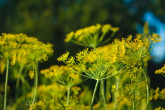 Branch Of Fresh Green Dill Stock Images