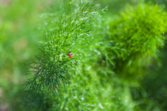 Branch of fresh green dill with two ladybugs Stock Photos