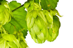 Branch of fresh green hop Royalty Free Stock Images