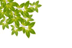 Branch with fresh green leaves Stock Photography